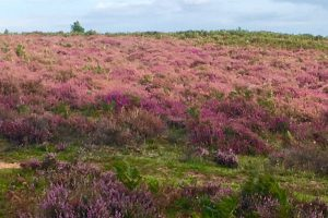 Lesley Lyle walk in New Forest showing red heather