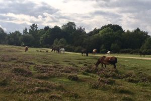 Horses grazing in New Forest walk with Lesley Lyle